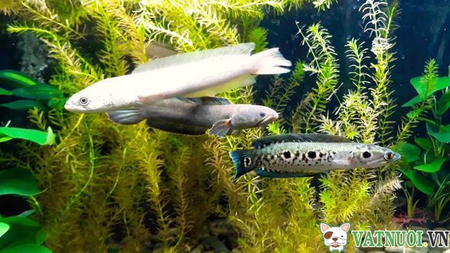 Cá Lóc Cảnh