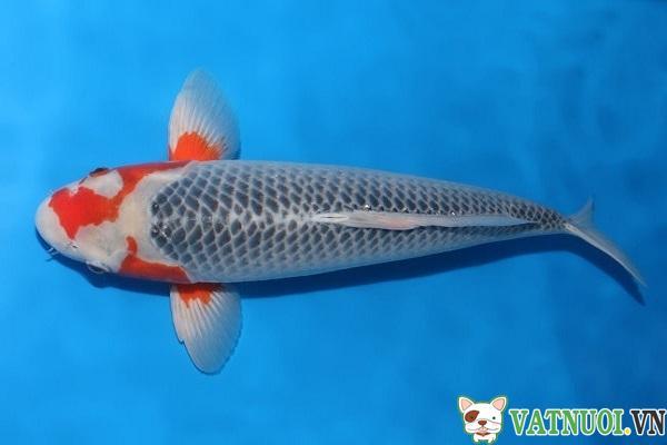 Cá Koi Asagi