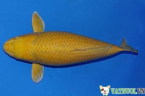 Cá Koi Hikarimuji