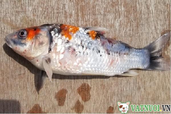 Bệnh đốm đỏ ở Cá Koi