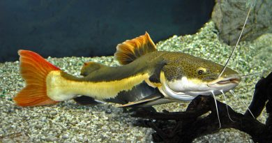 Ca hong vy mo vit Phractocephalus hemioliopterus 1 vatnuoi.vn