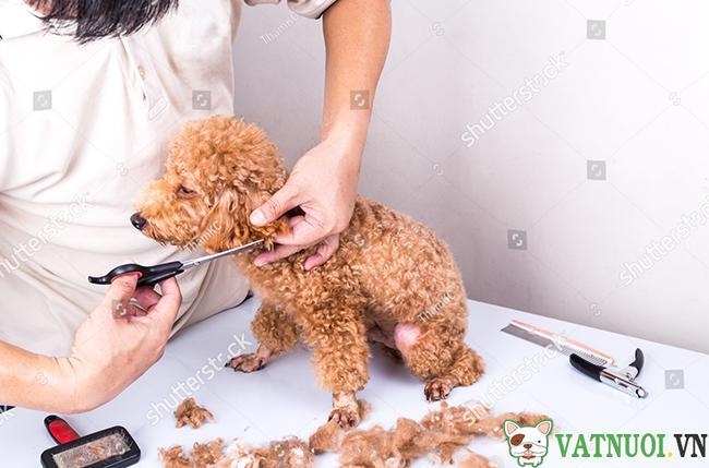 cạo lông máu cho Chó Poodle