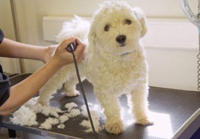 Chăm sóc, Cắt, Tỉa, Nhuộm Lông Chó Poodle từ A đến Z
