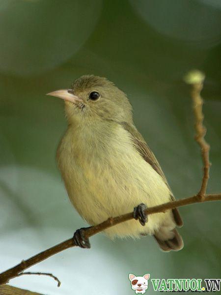 Chim Sâu Vàng