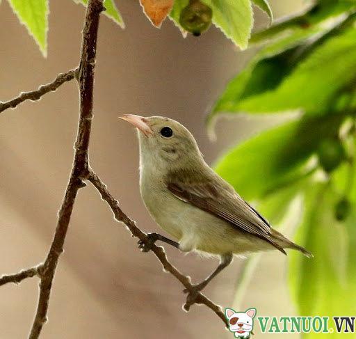 Chim Sâu - Dicaeidae