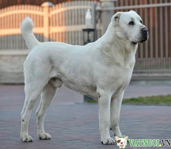 Chó Alabai