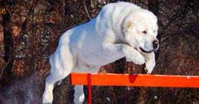 Cho Alabai Dog 13