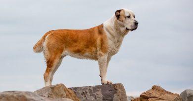 Cho Alabai Dog 6