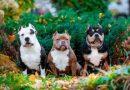 Chó Bully giá bao nhiêu? Mua chó Bully thuần chủng ở đâu tốt nhất
