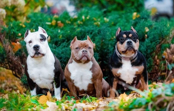 Cho Bully dog 14