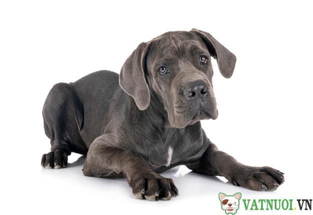 Chó Great Dane