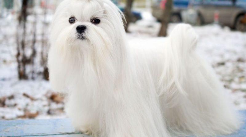 Cho Maltese Dog 1 vatnuoi.vn