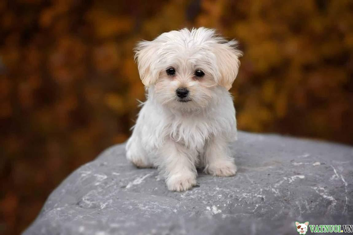 Chó Maltese Dog