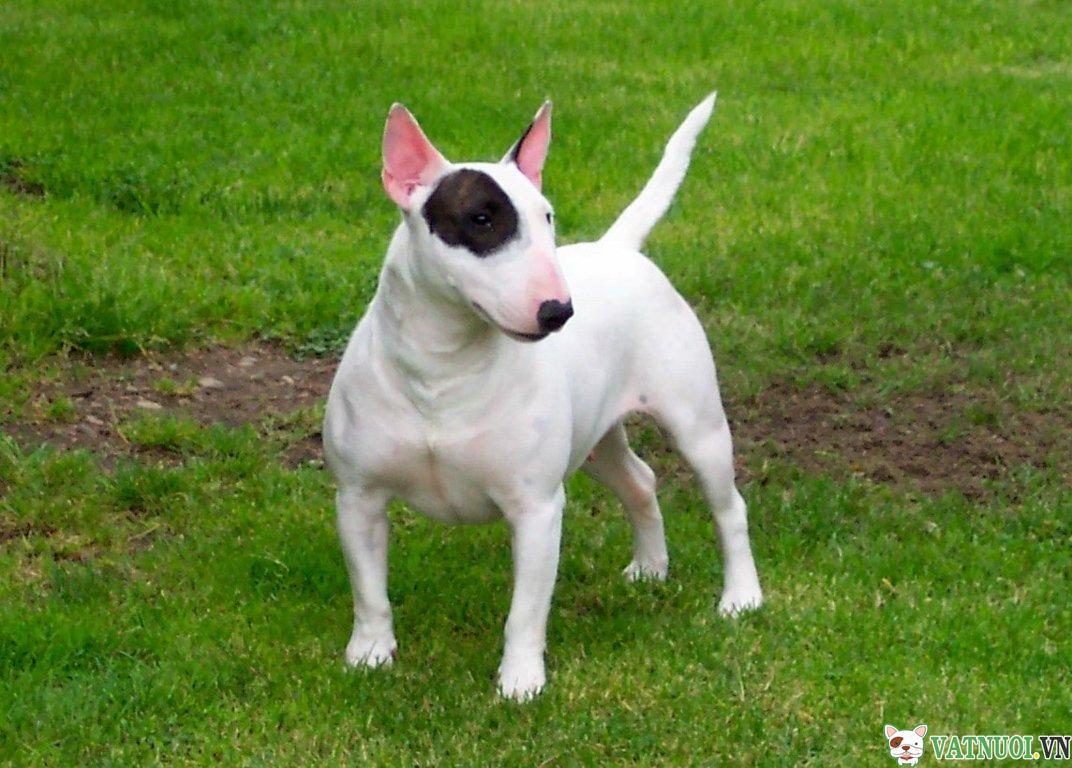 Chó sục bòBull Terrier