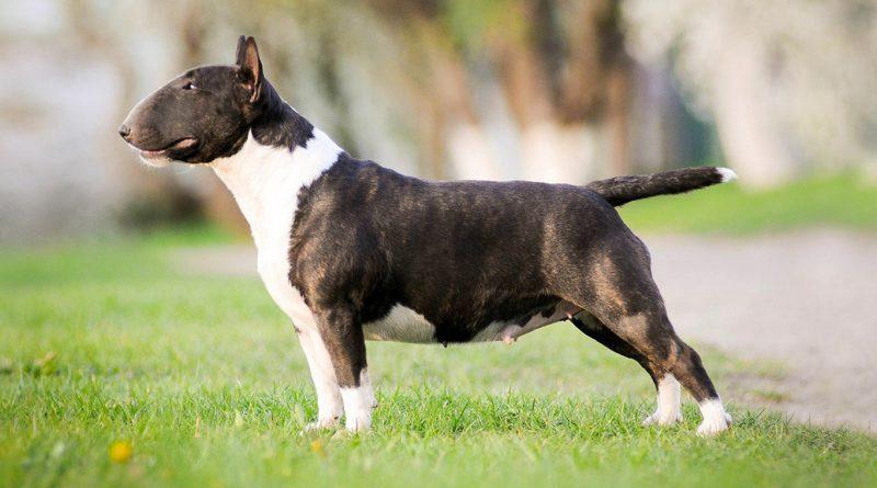 Cho Suc Bo bull terrier dog 2 vatnuoi.vn