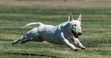 Cho Suc Bo bull terrier dog 5