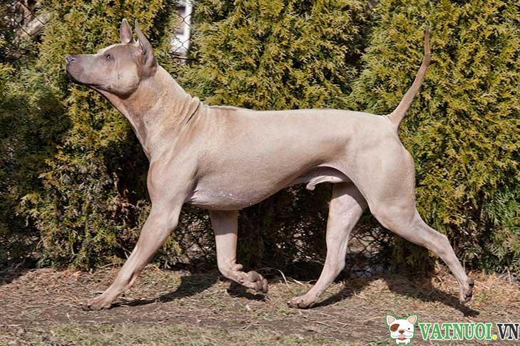 Chó Xoáy Thái