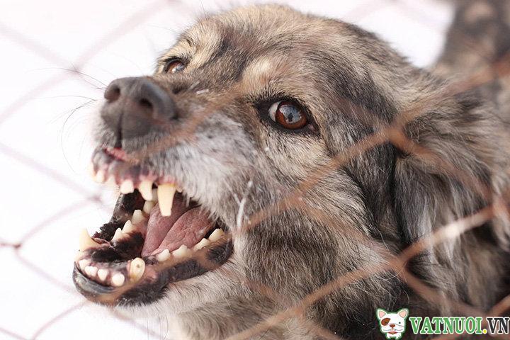 chó bị dại