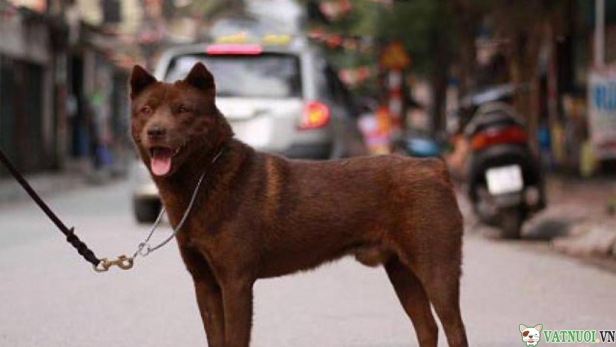 Cho mong coc hmong dog 1