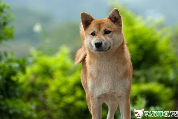 Chó Shiba Inu