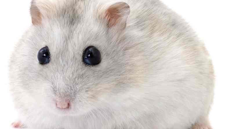 campbelli dwarf hamster có cắn không