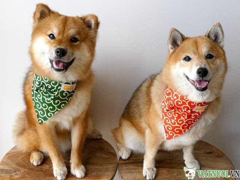 Chó Shiba Inu Đáng yêu