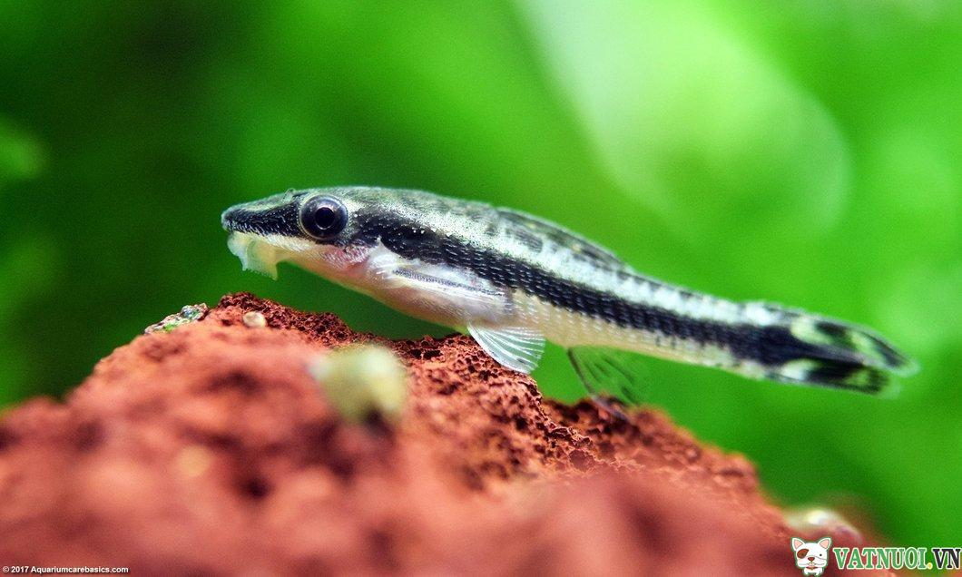 Cá Otto sinh sản