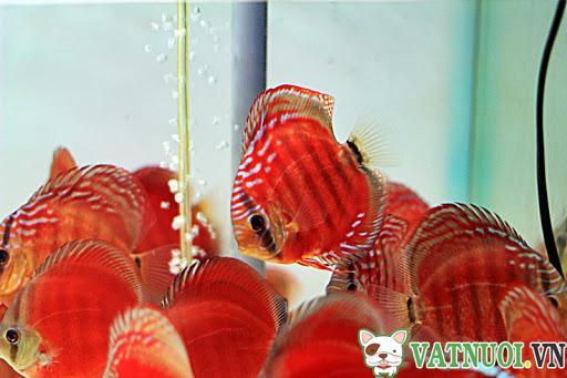 Cá Dĩa Bông Hồng