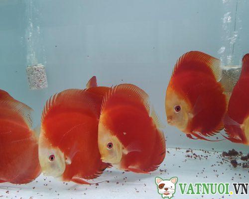 Cá Dĩa Đỏ (red)