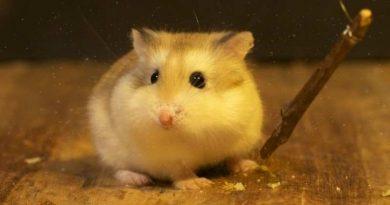 cách nuôi hamster