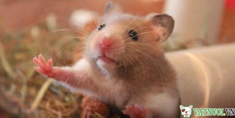 chăm sóc hamster mang thai
