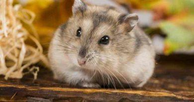 chăm sóc hamster ngày nóng