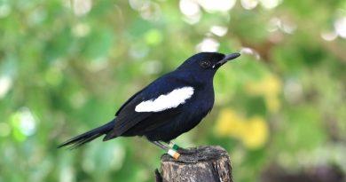Chim chích chòe đất ăn gì? Kinh nghiệm nuôi chích chòe đất