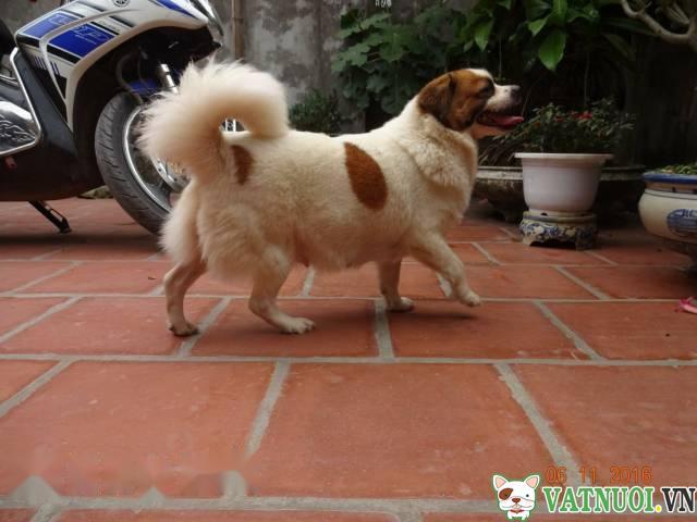 chó Bắc Kinh lai Nhật