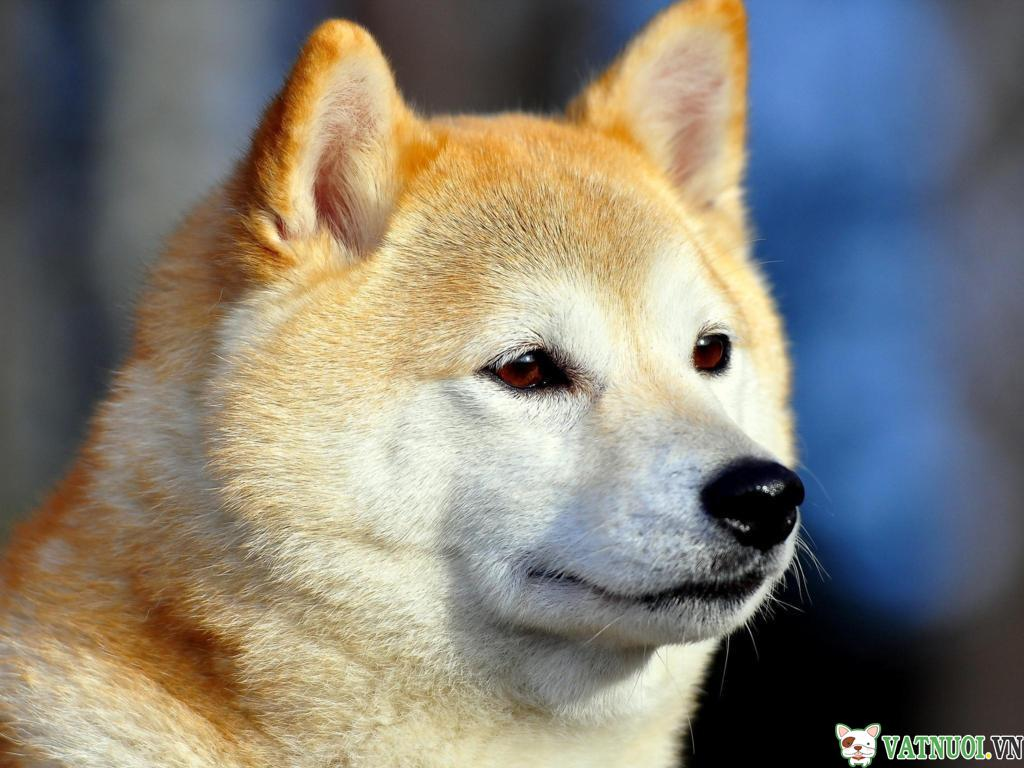 Chó Akita
