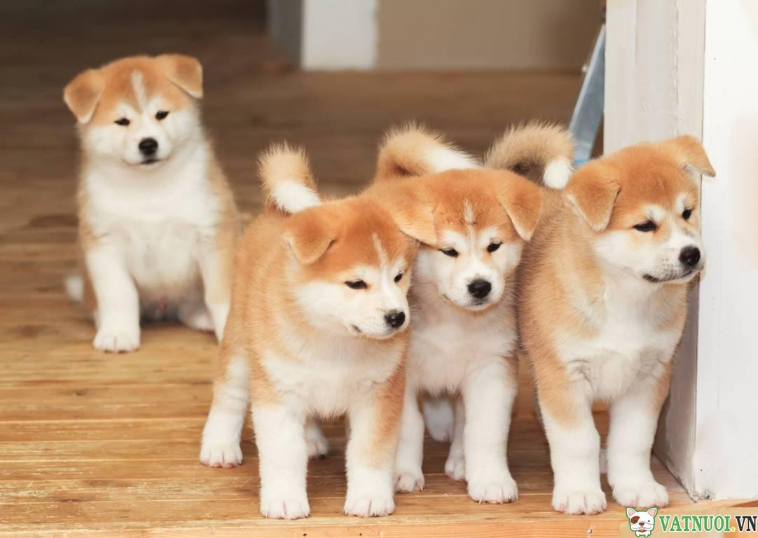 mua chó Akita