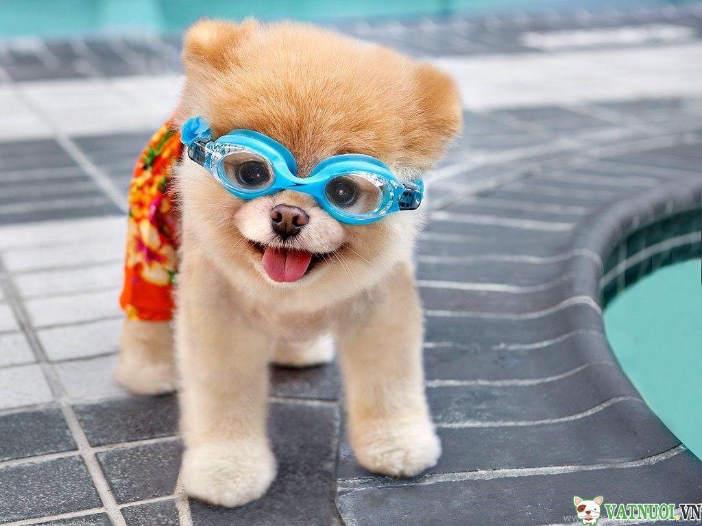 Chó Boo