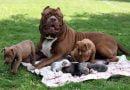3 loại thức ăn cho chó pitbull không thể bỏ qua