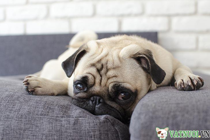 chó Pug