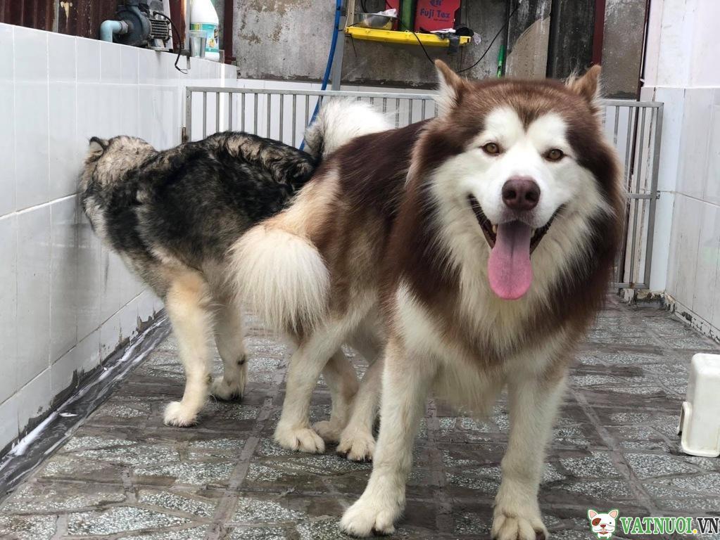 Chó Salo