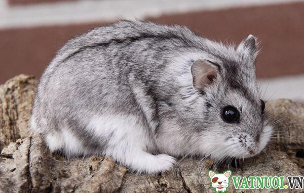 chuột hamster campbell