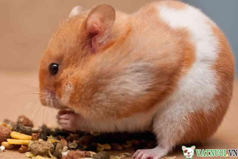 dấu hiệu hamster mang thai