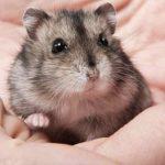 hamster đáng yêu