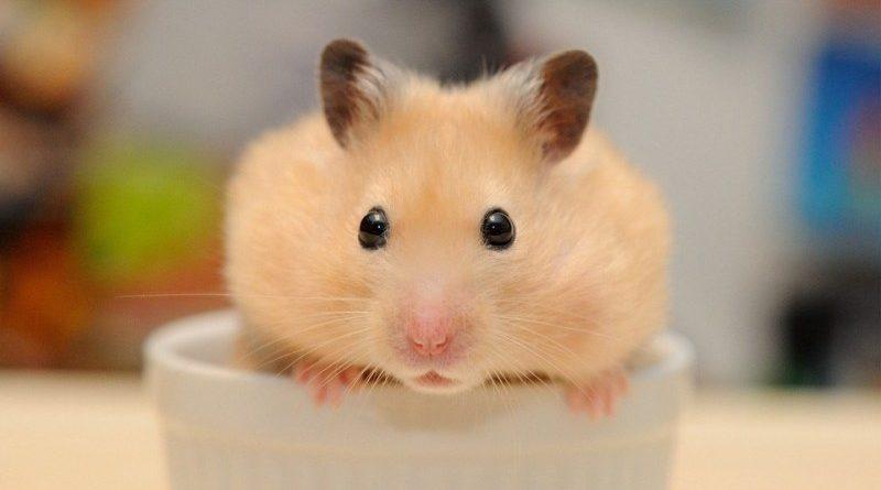 huấn luyện hamster chạy đến bên bạn