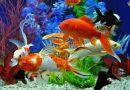 Cách nuôi cá cảnh không bị chết dành cho người mới chơi cá chi tiết