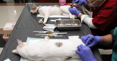 Triệt sản mèo cái bao nhiêu tiền? Có nên tiêm thuốc triệt sản?