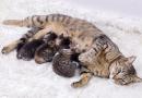 Mèo mẹ bị căng sữa phải làm sao? Cách xử lý làm tiêu sữa cho mèo mẹ
