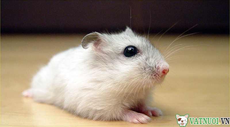 nuôi hamster cần gì