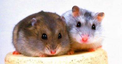 phân biệt hamster winter white va campbell