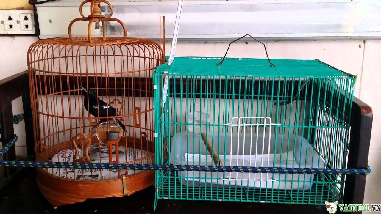 Chim chích chòe đất